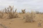 Пустыня Кызыл-Кум. Саксаулы