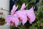 Рио. Орхидея.